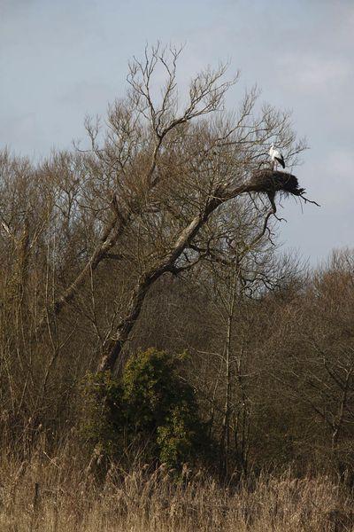 Cigognes blanches (baie de Somme)