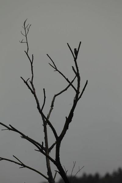 Pic épeiche (Grésivaudan)