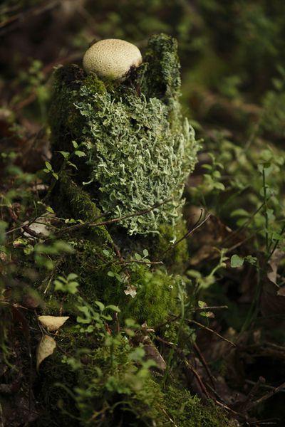 Vesse-de-loup perlée (massif ardennais)