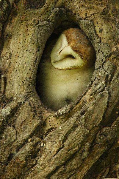 Chouette effraie (Marquenterre)