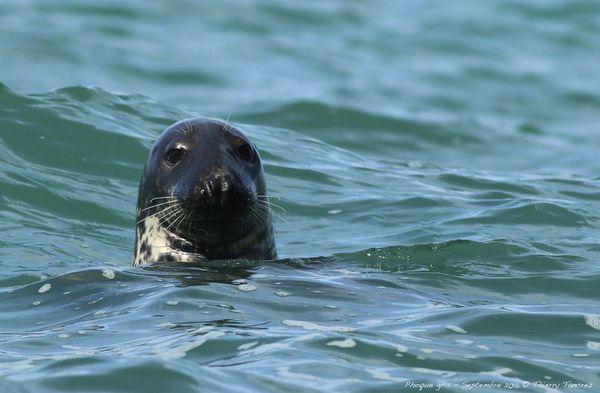 Les phoques gris