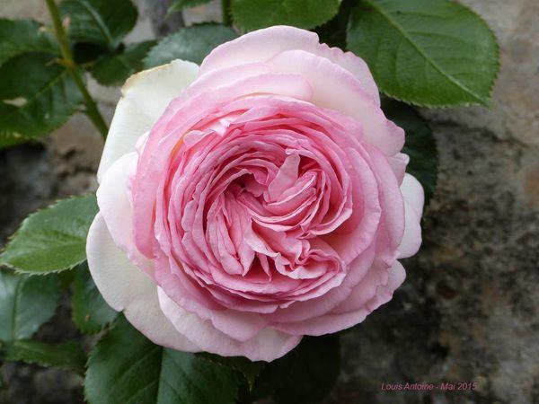 Les roses du château de Drée