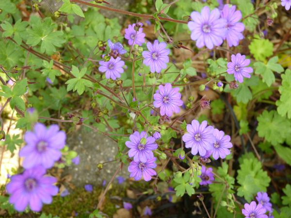 GERANIUMS VIVACES