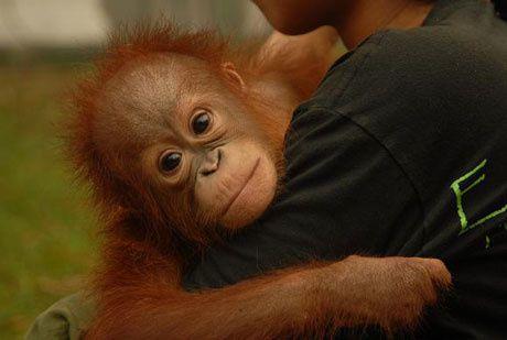 Indonezio : la lando kaj ties orangutanoj brulas en plena indiferenteco