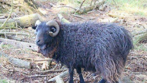 un bélier noir de la race d'Ouessant a été découvert..