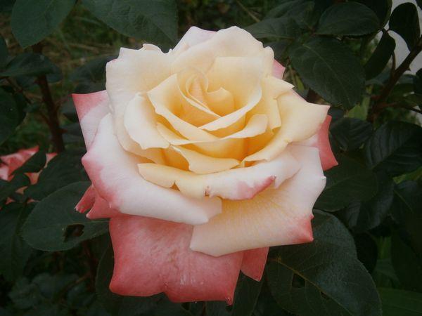 Encore des roses...