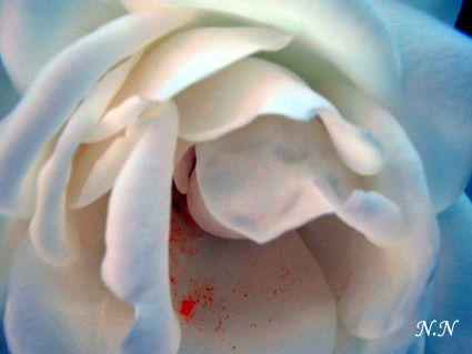 Et rose elle sera ...