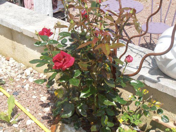 Les roses de Celon