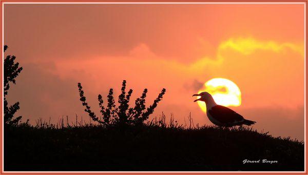 Goeland au coucher du soleil à Belle Ile