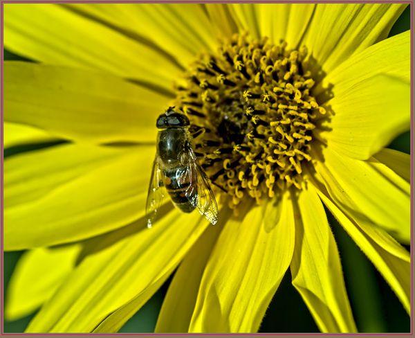 Le Syrphe voit la vie en jaune