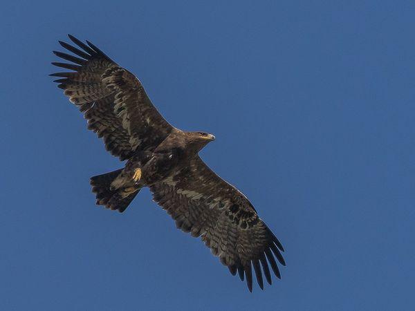 Plume d'aigle des steppes trempée dans l'encre boréale