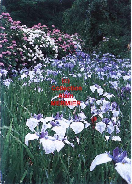 Iris -1820- CPM. Iris Japon. Mandarado KAMAKURA. 1986.