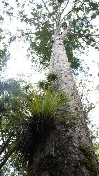 Kauris forest