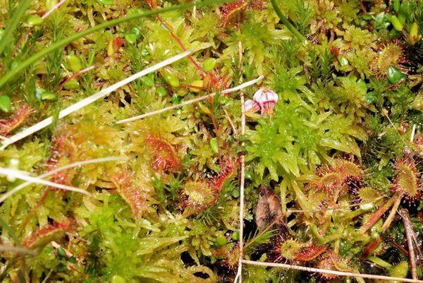 Drosera (plante carnivore présente dans les tourbières vosgiennes)
