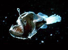 Animaux méconnus des Abysses : Le poisson-pêcheur, Le requin Lézard et le requin Lutin