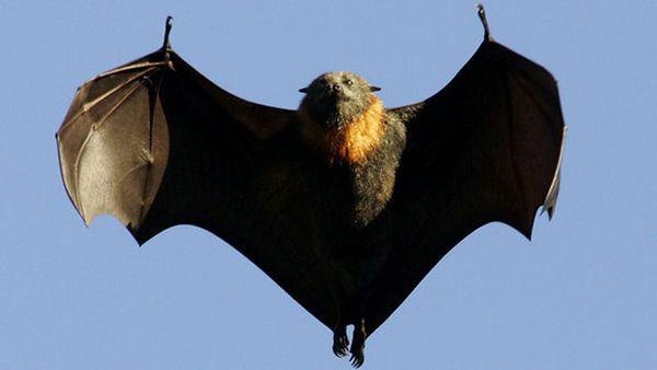 La chauve-souris Géante, Pteropus Giganteus, et l'histoire de Treemonkey18, australien.