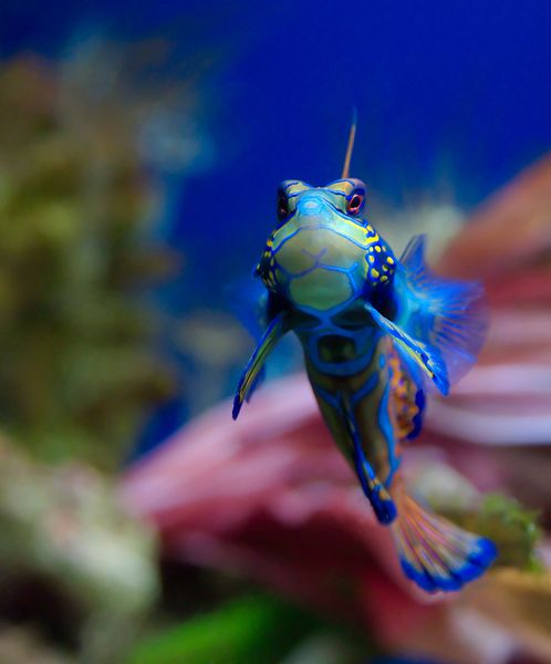 Le poisson Mandarin,  Synchiropus Splendidus