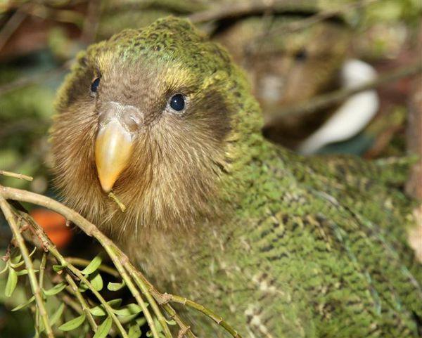 Le Kakapo, Perroquet de nuit, Strigops Habroptila, Espèce en voie de disparition,  Nouvelle-Zélande