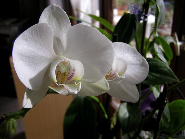 Orchifidélité : Phalaenopsis