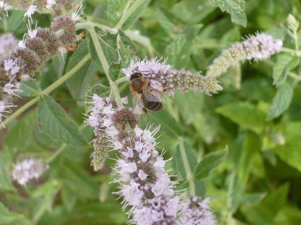Les fleurs de menthe, un paradis pour les insectes