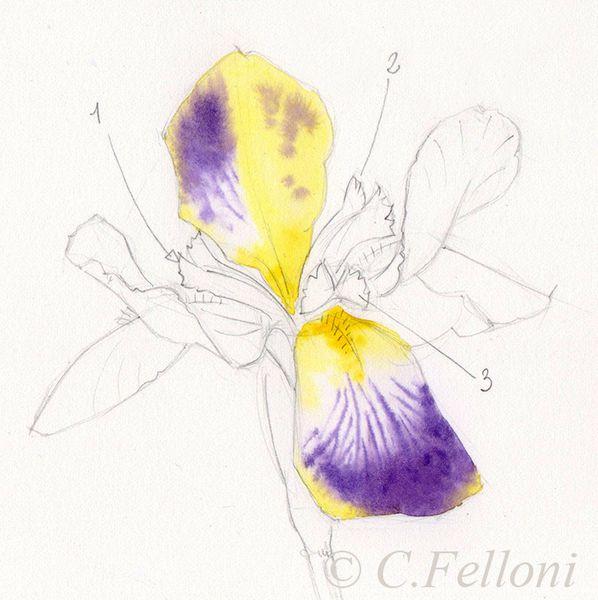 Le stigmate pétaloïde de l'Iris