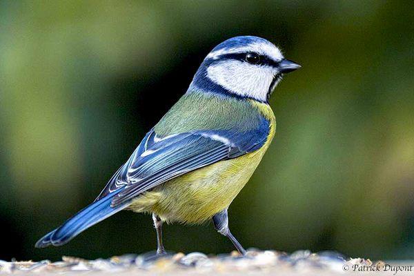 Un oiseau de nos jardins