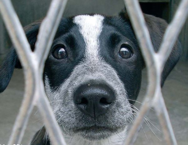 Ce n'est pas Chouquette, dont je n'ai pas de photo, mais un des centaines de milliers de chiens abandonnés dans un refuge et dont le regard reflète l'angoisse, l'incompréhension, et l'appel au secours.