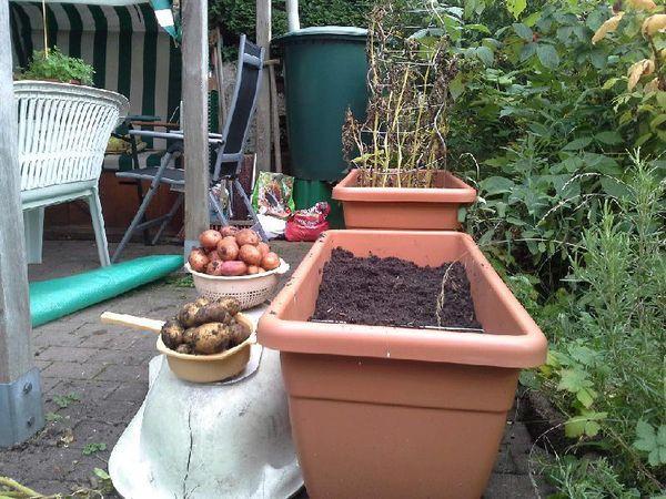 Kleine Kartoffelernte - ziemlich dicke Dinger