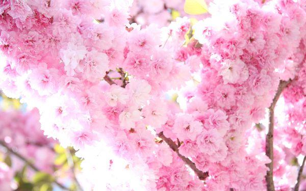 Pétales de Sakura