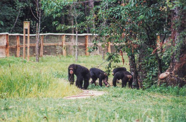 © Stéphane Devoyon - Les Chimpanzés