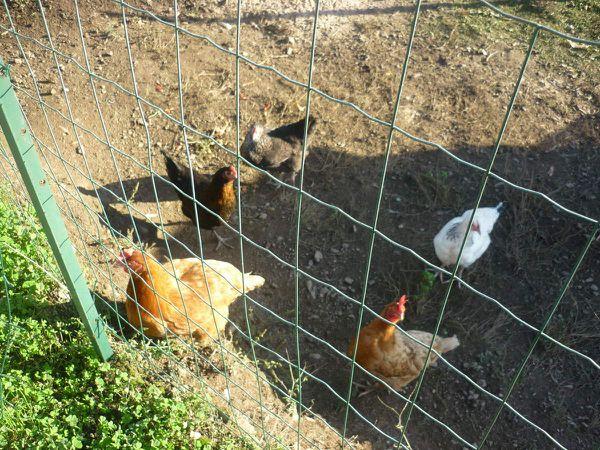 Les poules de Valérie