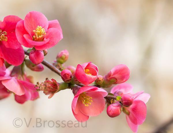 Cognassiers du japon et mimosas &quot&#x3B;de Bretagne&quot&#x3B; !
