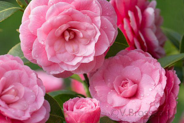 Fleurs de camélia ...