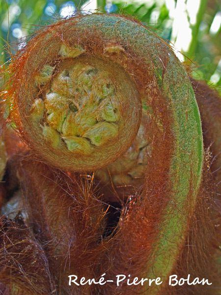 Dicksonia antarctica (fougère arborescente originaire de Tasmanie)