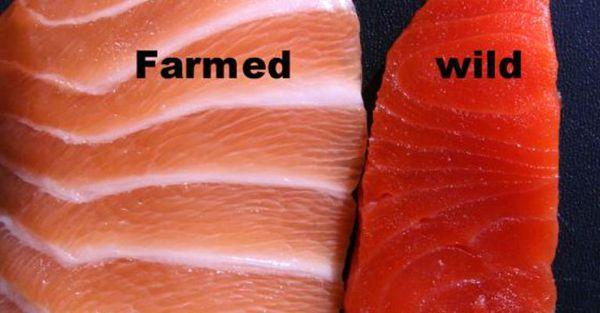 Le saumon d'élevage est plein d'antibiotiques et Mercure! Voici comment savoir si votre saumon est bien