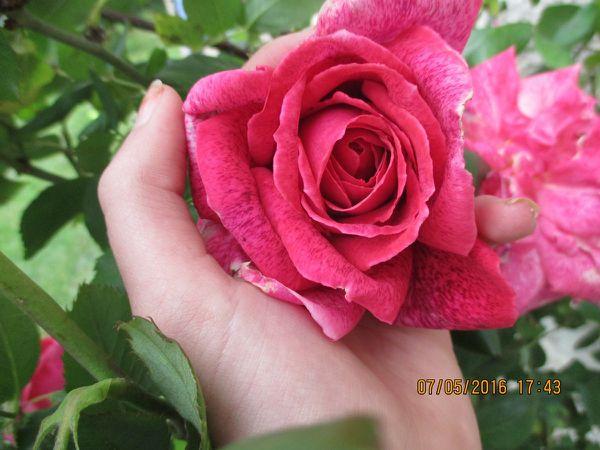 Les premières roses d'un nouveau printemps