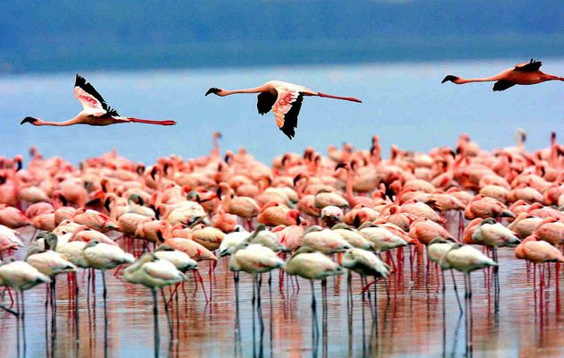 Circuit Tanzanie :Parc National du Lac Manyara