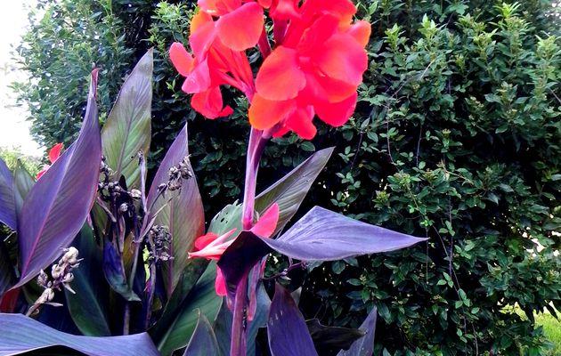 Le cana rouge