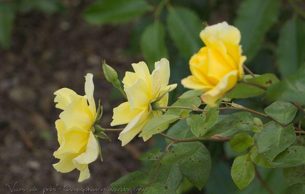Des roses.. autrement..