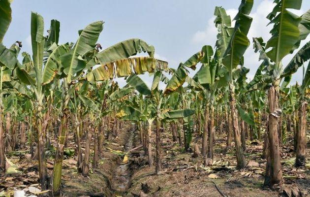 Côte d'Ivoire : un quart de la production de bananes détruit dans une inondation