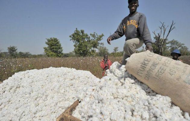 Côte d'Ivoire : production record de coton avec 405 226 tonnes en 2014 (Gouvernement)