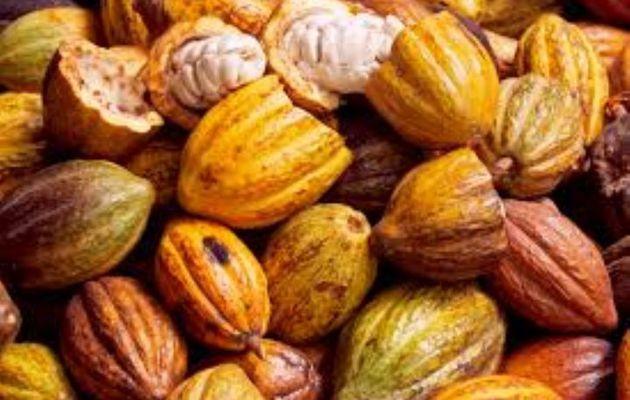 Production du Cacao : Les menaces qui guettent la Côte d'Ivoire