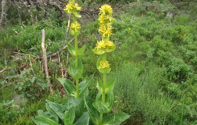La Gentiane jaune, une robuste montagnarde