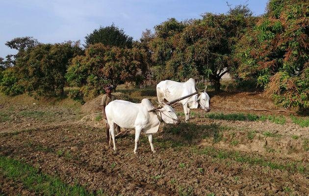 Le vacher, les bœufs et le mérinos