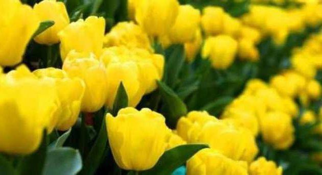 Mois d'avril à Istanbul : je t'ai acheté des tulipes jaunes