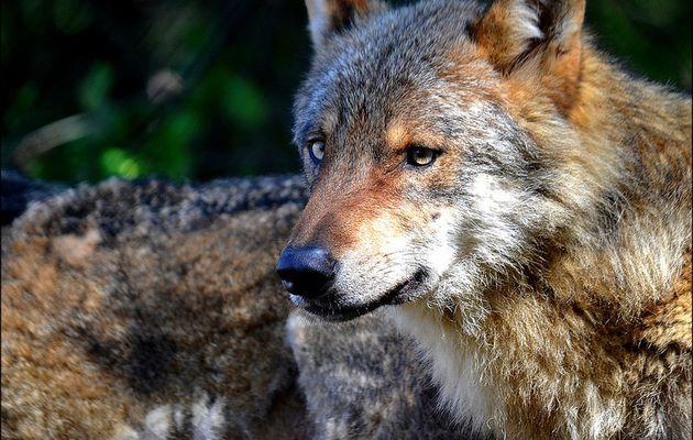 Le Loup-Canis Lupus