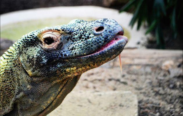Dragon de Komodo-Varanus Komodoensis