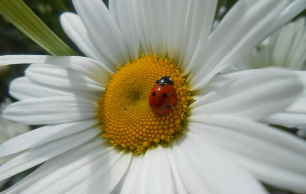 photos minute#2 coccinelle sur marguerite