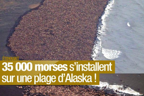 35 000 morses s'installent sur une plage d'Alaska ! #ecologie