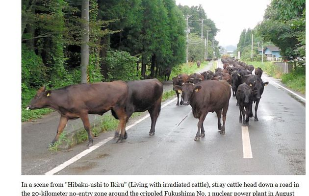 keeping cattle alive in Fukushima